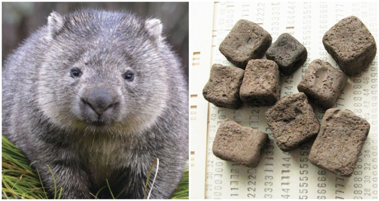 Scientists discover the reason why wombats' poop is cube shaped